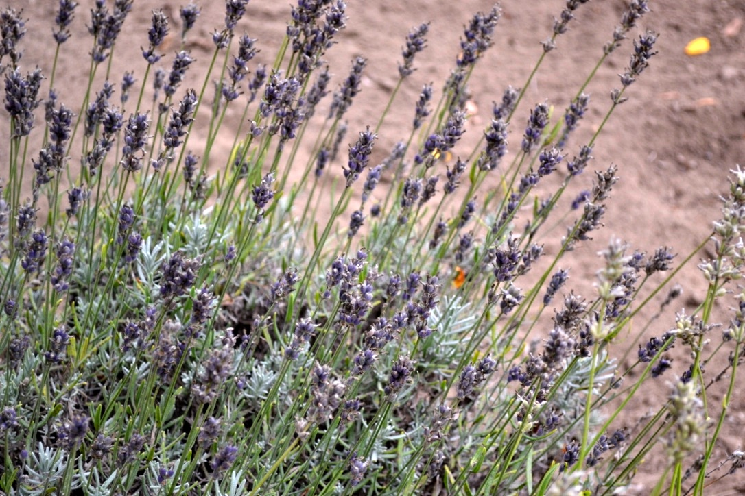 Visiting Steed Lavender Farm
