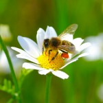 10 Things to do to Help Bees